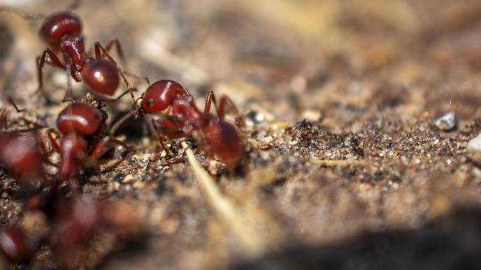 Invasive Fire Ants Limiting Spread of Meat Allergy—But Pose Their Own Dangers