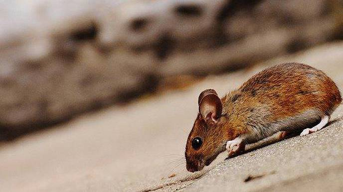 Man in China Dies From Hantavirus; Over 1,000 Cases Since 2015