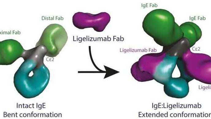 Research Team Describes Overall Structure of the Antibody Type IgE