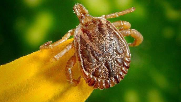 Lone Star Tick Brings Heartland Virus to Illinois